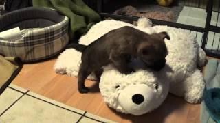 """Cairn Terrier Welpen """" Vom Farbenspiel """" 5. Woche 9.1.2015 2. Teil / Cairn Terrier Puppies"""
