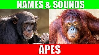 APES for Kids - Learning Ape Names and Sounds for Children