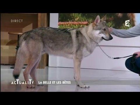 La belle et les bêtes : le loup #AcTualiTy