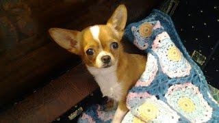 Фото моей собаки чихуахуа Нюра \ Pictures of my chihuahua