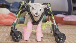 Orphaned Lamb Learns to Walk with Help of Special Wheelchair