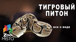 Тигровый питон - Все о виде змей | Вид змей тигровый питон
