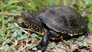 Болотные черепахи Ниндзя🐢 и Матильда🐢