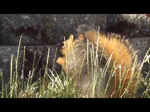 Fox Squirrel aka Raccoon Stump-ear Monkey Red , House Sparrow , Anna