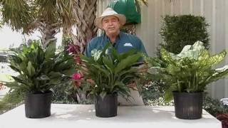 Aglaonema Stars of India™ Care Instructions.avi