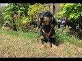 Golo - 1 Year Old Miniature Dachshund - 2 Weeks Residential Dog Training