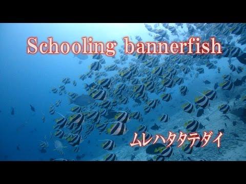 圧巻 ムレハタタテダイ False moorish idol Schooling bannerfish