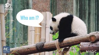 One day in the life of pandas