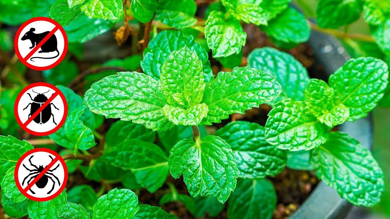 Huiles Essentielles Contre Les Souris si tu as cette plante à la maison, tu ne verras plus jamais de souris et  d'autres nuisibles
