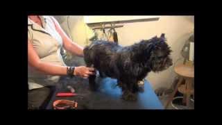 Sådan Trimmer Du Ruhårede Hunde - Cairn Terrier