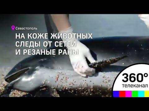 В Севастополе местные жители обнаружили на берегу мертвых дельфинов