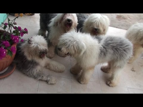 Olde English Sheepdog Tails Vol LXXXIII Lola Vs Lala