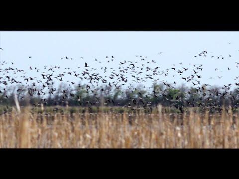 Скопление гуся в Омской области