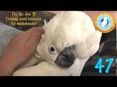 Cockatude 47 No Jive 5 parrot training, Cockatoos with attitude