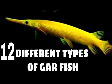 Types Of Gar Fish | Florida Gar | Alligator Gar | Spotted Gar | Cuban Gar Fish
