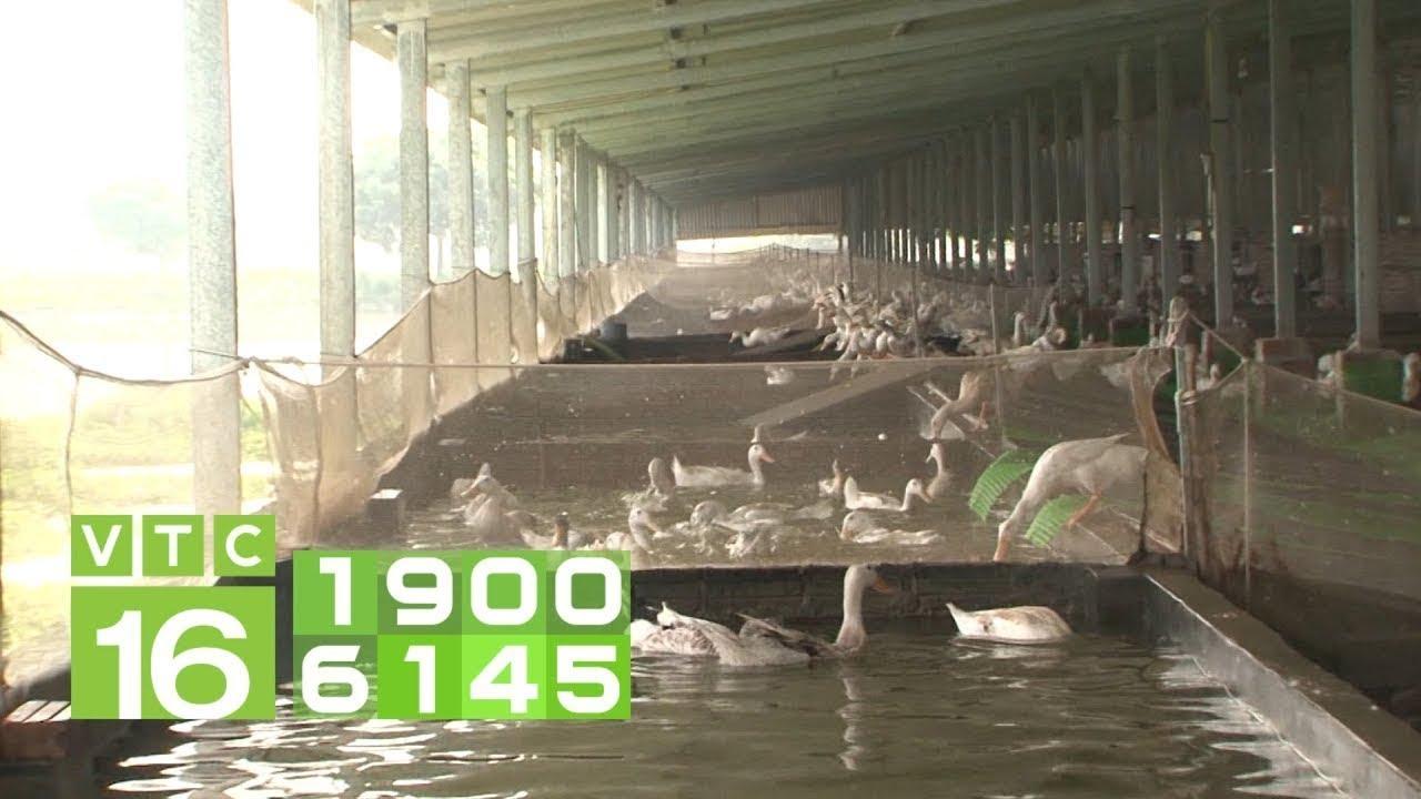 Xây bể bơi, sân chơi nuôi vịt, lãi 2 triệu/ ngày | VTC16