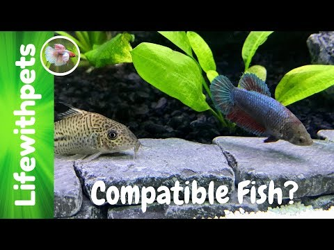 Compatible Tank Mates  For Betta Fish (Collab)