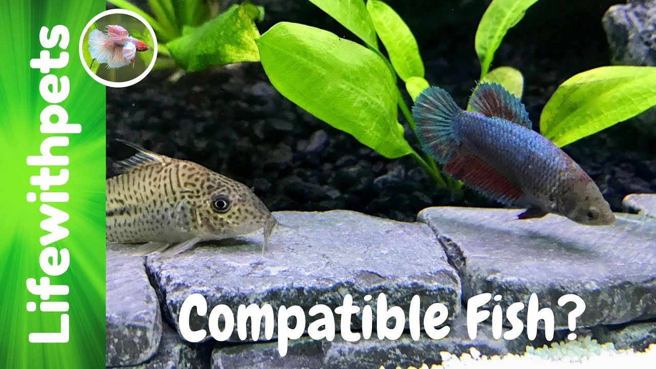 Compatible tank mates for betta fish collab youtube for What fish are compatible with betta fish