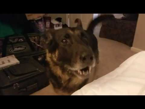 German Shepherd Throws a Temper Tantrum
