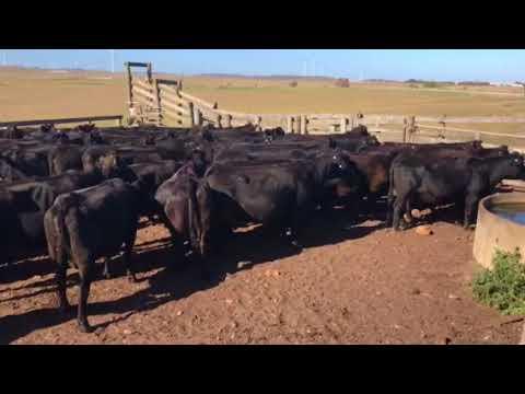 """Musselroe Beef """"Cape Portland"""" Cows"""