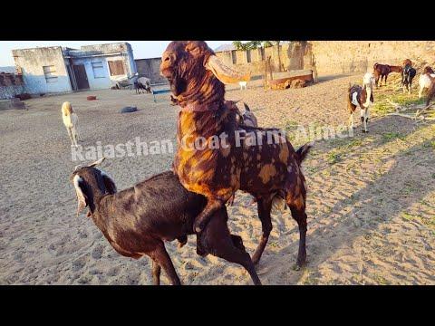 Powerful Sirohi breeder goat breeding / goat meeting / goat crossing