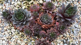 SEMPERVIVUM SUCCULENTS CARE: When Do I Pull Dead Leaves? COLD HARDY PLANTS (2018)