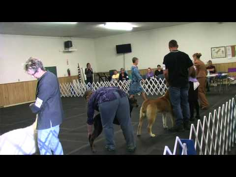 UKC dog show,Alsu central asian shepherd, ,got 2nd place in Guardian group