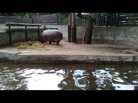 Бегемот рижский зоопарк