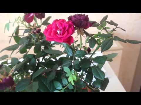 Роза из Оби. Уход. Обрезаем цветы после пересадки 1