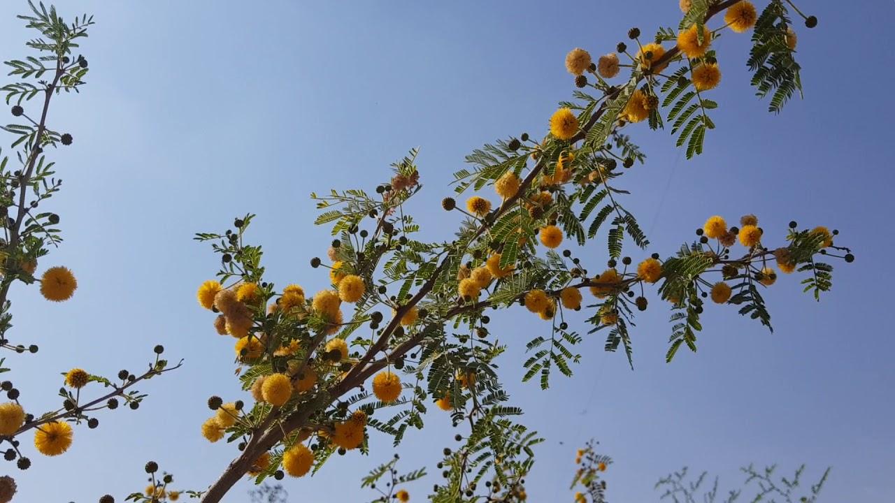 شجرة طلح الفتنة السنط العربي Acacia Farnesiana Youtube