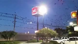 San Marcos, TX - Black Birds / Grackles - Migration - Flying South For Winter - 11/5/2017
