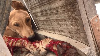 Puppy's lower lip was completely torn off, extraordinary recovery (graphic footage)