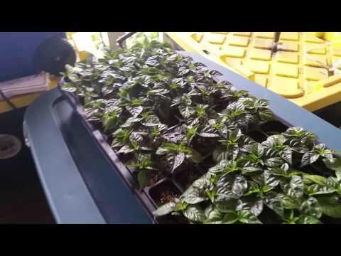 Carolina Reaper Seed Start - Update #6