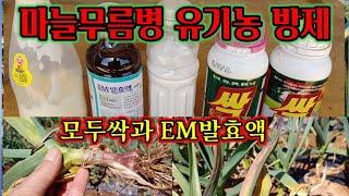 마늘무름병 유기농제품방제하기