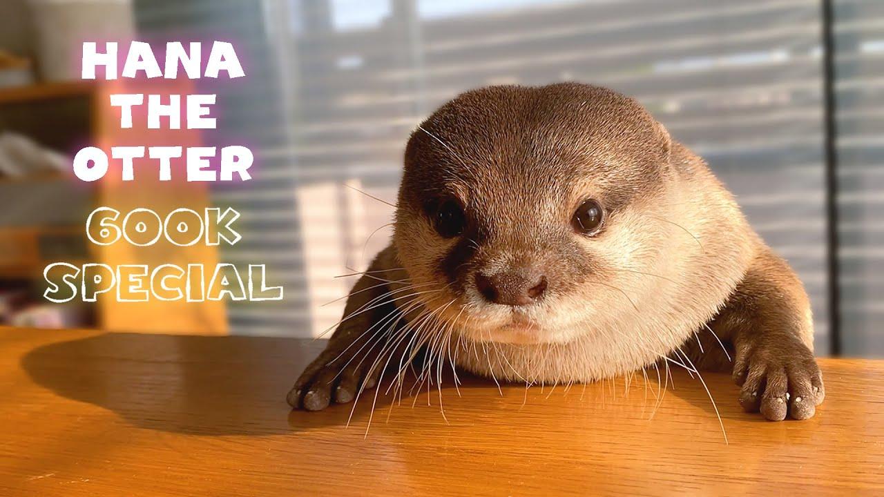 【60万人記念】これを見ずしてカワウソハナの魅力は語れない!激カワ保存版  Introducing Hana the Otter 600K SUB SPECIAL