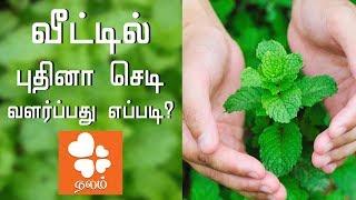 வீட்டில் புதினா செடி வளர்ப்பது எப்படி?   How To Grow Pudina at Home   Veettu Thottam   Maadi Thottam