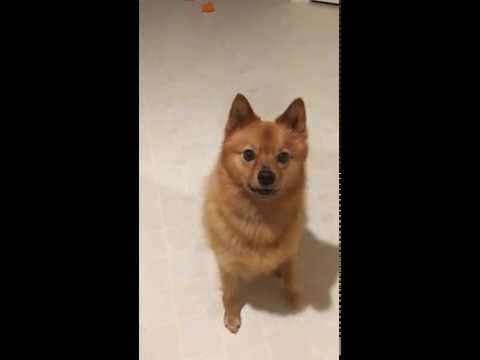 "Finnish Spitz's tricks, ""sit"", ""closer"", ""speak"",  ..."