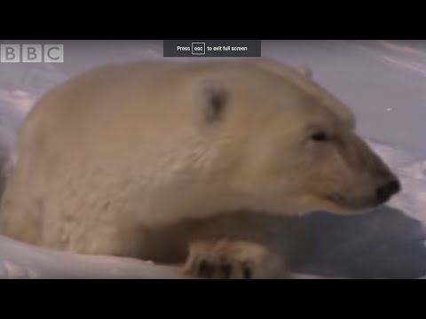 Mother Polar Bear and Cubs Emerge From Den | BBC Planet Earth