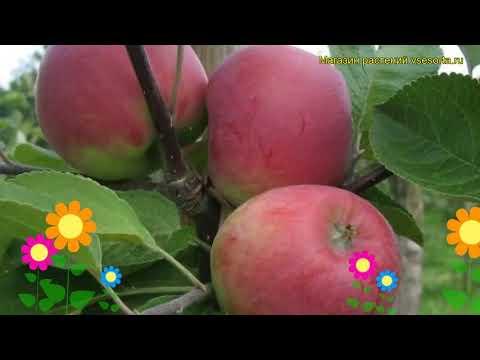 Яблоня Красное раннее. Краткий обзор, описание характеристик malus domestica Krasnoe Rannee