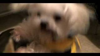 Cute Maltese Dog Dolby Crazy About Food