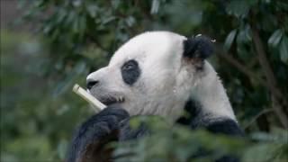 Жизнь панды  Озвучка Google  Внимание, мат!