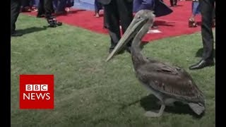 Pelicans gatecrash university graduation - BBC News