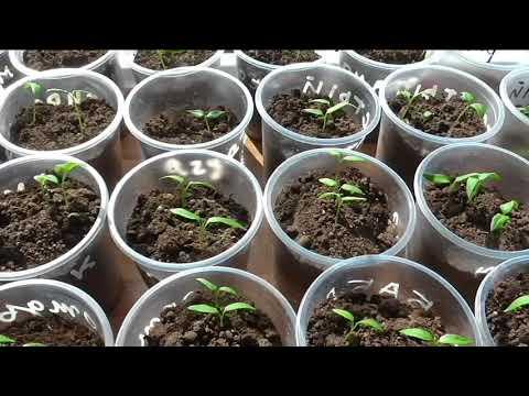 Что делать, если у ростка повреждены семядольные листики.