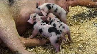 Schweinemütter haben nur kurze Pausen