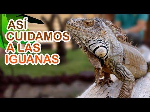 Las consecuencias de tener una iguana como mascota
