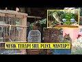 Musik Terapi Pleci Bikin Pleci Jadi Gacor Kombinasi Suara Air Alam Siul Dan Pleci Ombyokan  Mp3 - Mp4 Download
