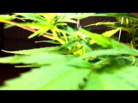 A Hermaphrodite Cannabis Plant