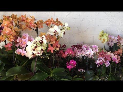 Завоз орхидей 27 08 2018г.  Фаленопсис, Камбрия, Каттлея, Дендробиум, Орхидея мини. Орхидеи почтой