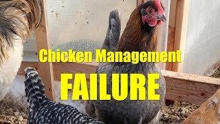 Chicken Management Failure: Ammonia Smell in the Coop