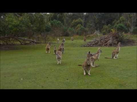 Kangaroos At Tasmanian Devil Park - 9/17/13